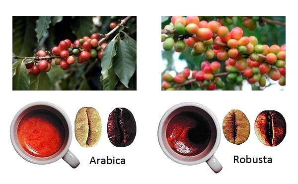 Отличия сортов кофе для варки дома